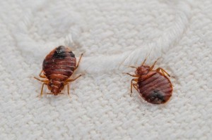 Bed bugs on mattress