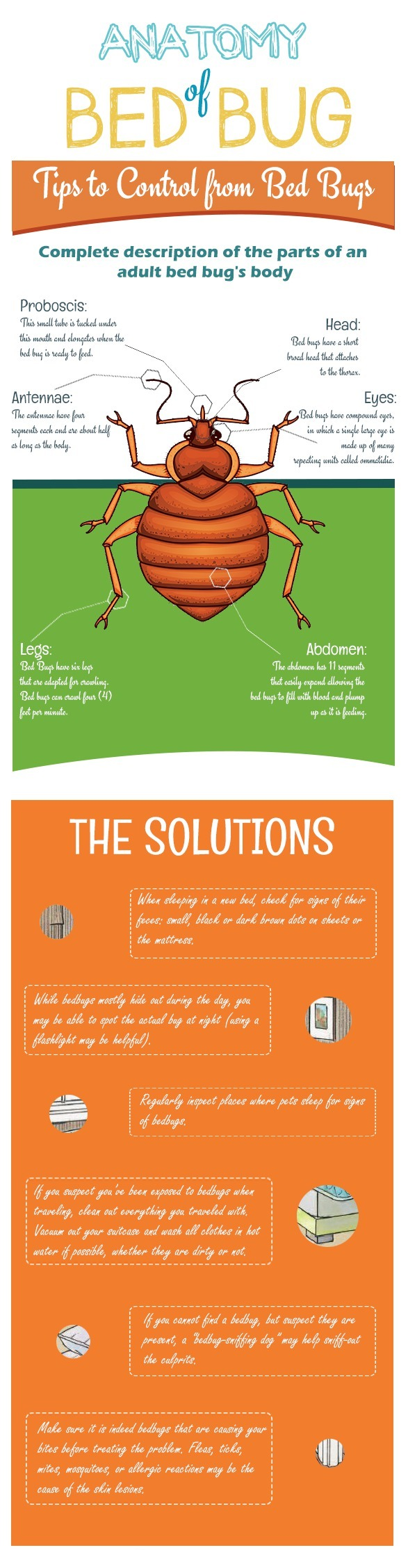 Anatomy of a Bed Bug