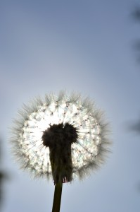 Dandelion in the sunlight