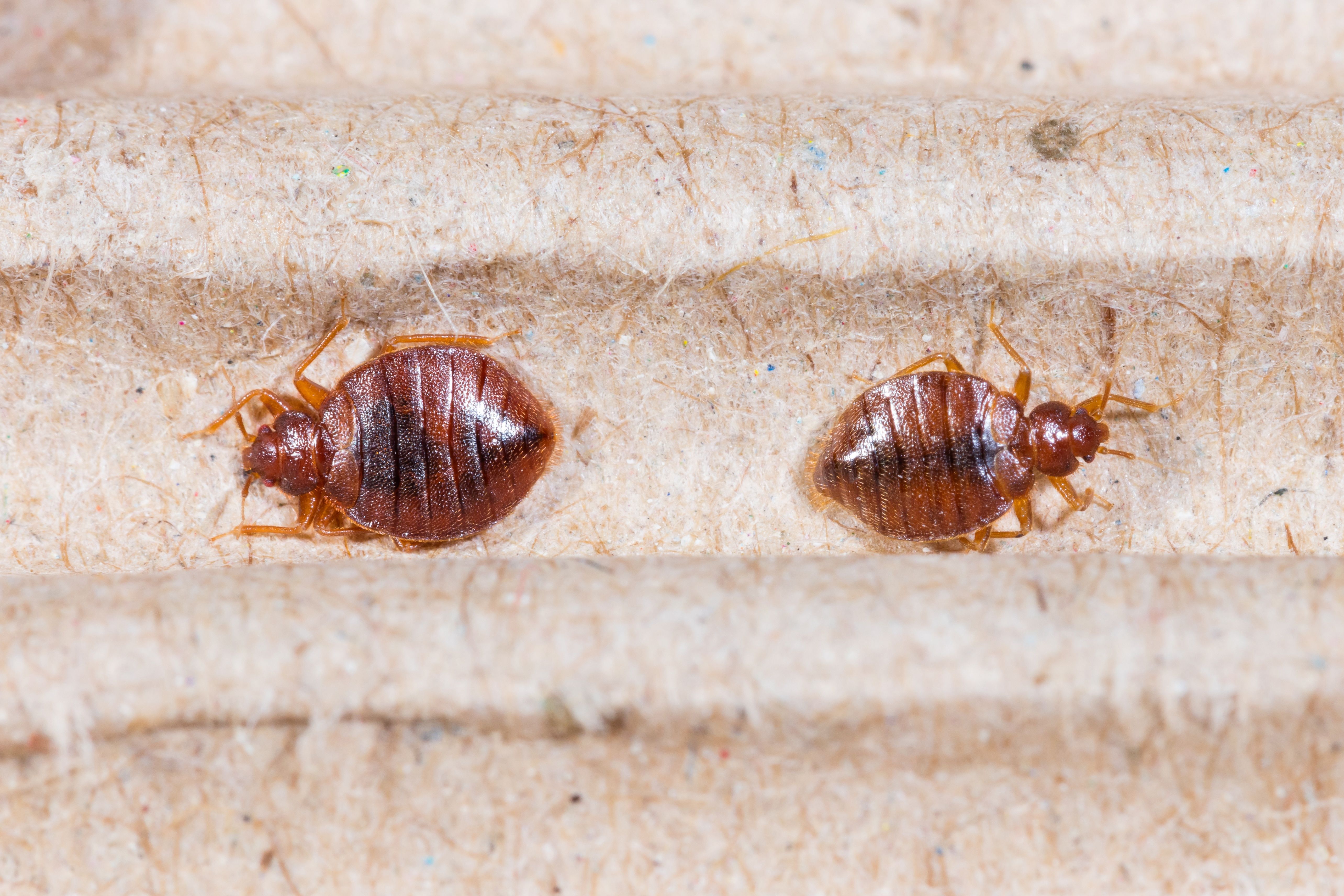 Small Bugs In Bedroom Californias Most Trusted Environmental Contractor Alliance